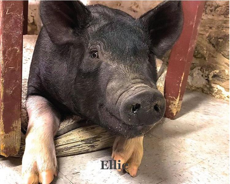 Ellie the pet piggy at Graves Mountain farm & Lodges