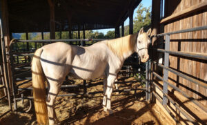Horse in Stalls in Campground at Graves Mountain