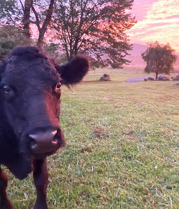 Fall colors with Joanie the pet cow - with her gerd