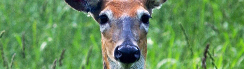 nature_deer1_1500x425