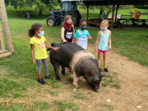 Walking Ellie & Bootsie - pet pigs, in the Farm-yard