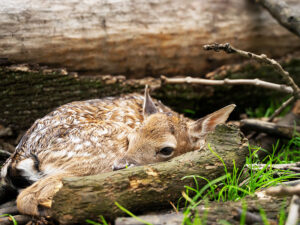 Wildlife on the Farm - here a fawn in the woods
