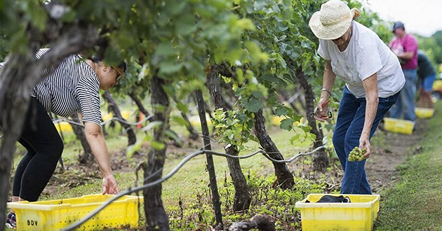 Vineyard care at DuCard Vineyard - our neighbor