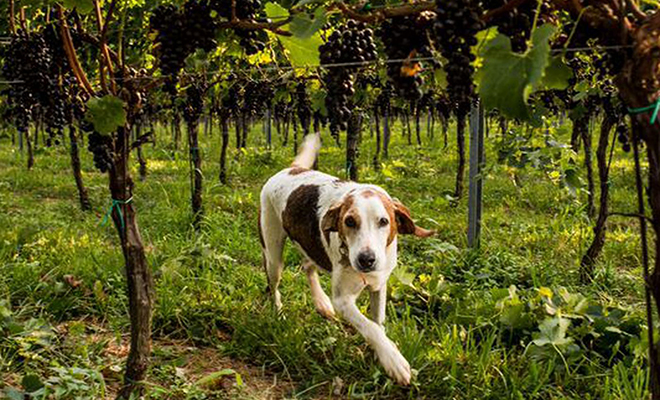 DuCard a dog and child friendly vineyard & our neighbor